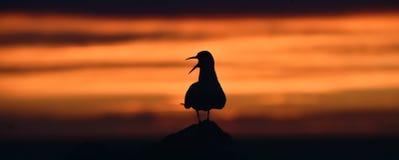 Siluetta delle sterne comuni sul tramonto rosso Fotografia Stock