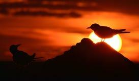 Siluetta delle sterne comuni sul tramonto rosso Fotografie Stock Libere da Diritti