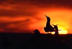 Siluetta delle sterne comuni sul tramonto rosso Fotografia Stock Libera da Diritti