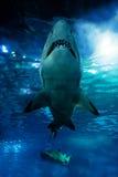 Siluetta dello squalo subacquea immagini stock libere da diritti