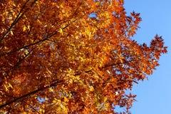 Siluetta di Autumn Tree Fotografie Stock