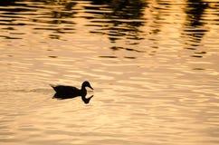 Siluetta di Duck Swimming in uno stagno dorato come gli insiemi di Sun Immagini Stock