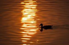 Siluetta di Duck Swimming in uno stagno dorato come gli insiemi di Sun immagine stock libera da diritti