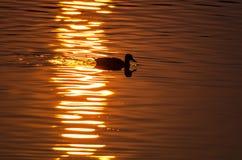 Siluetta di Duck Swimming in uno stagno dorato come gli insiemi di Sun fotografia stock libera da diritti