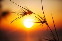 Siluetta di erba nel tempo di tramonto. Fotografia Stock Libera da Diritti