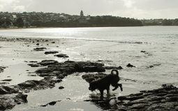 Siluetta di funzionamento del cane sulla spiaggia Fotografia Stock Libera da Diritti