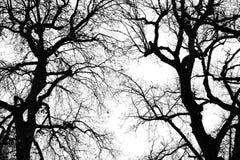 Siluetta di inverno dell'albero di quercia Fotografia Stock Libera da Diritti