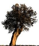 Siluetta di Olive Tree Fotografia Stock