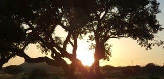 Siluetta di di olivo Fotografia Stock
