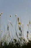 Siluetta di selvaggio una pianta in prato durante il tramonto Fotografia Stock Libera da Diritti