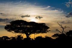 Siluetta di tramonto degli alberi africani dell'acacia nel cespuglio della savanna Fotografie Stock Libere da Diritti