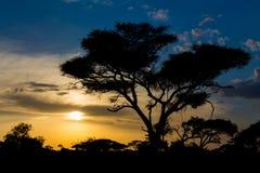 Siluetta di tramonto degli alberi dell'acacia in savana africana Immagini Stock