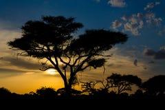Siluetta di tramonto dell'albero dell'acacia nella savana dell'Africa Fotografia Stock Libera da Diritti