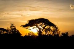 Siluetta di tramonto dell'albero dell'acacia nella savana dell'Africa Fotografia Stock