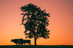 Siluetta di tramonto delle mucche fotografia stock