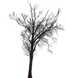Siluetta di un albero di betulla in inverno Fotografia Stock