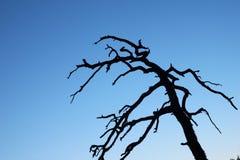 Siluetta di un albero guasto Fotografie Stock Libere da Diritti