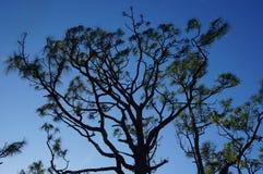 siluetta di un albero di pino d'Elliot immagine stock