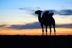 Siluetta di un cammello Fotografie Stock Libere da Diritti