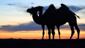 Siluetta di un cammello Fotografie Stock