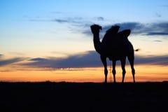 Siluetta di un cammello Immagine Stock