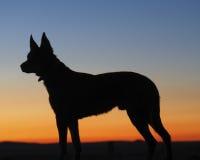 Siluetta di un cane australiano di Kelpie Fotografie Stock Libere da Diritti