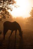 Siluetta di un cavallo arabo di pascolo in nebbia pesante Immagine Stock