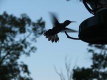 Siluetta di un colibrì Fotografia Stock