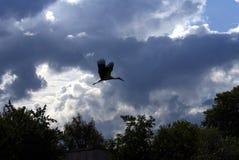 Siluetta di un volo della gru nel cielo nella campagna Fotografie Stock Libere da Diritti