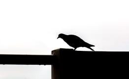 Siluetta di una passeggiata dell'uccello sulla parete Fotografie Stock Libere da Diritti
