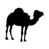 Siluetta diritta del cammello su fondo bianco Fotografie Stock Libere da Diritti