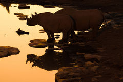 Siluetta e riflessione del rinoceronte nero ad un waterhole dopo Fotografia Stock