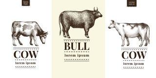 Siluetta grafica del toro e della mucca, illustrazioni d'annata disegnate a mano Vettore fissato con tre modelli di logo Fotografia Stock