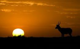 Siluetta idillica della fauna selvatica Immagine Stock Libera da Diritti