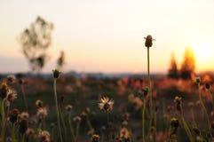 Siluetta molle del fiore dell'erba Immagini Stock Libere da Diritti