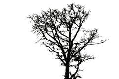 Siluetta nera di vecchio albero di abete Fotografia Stock Libera da Diritti