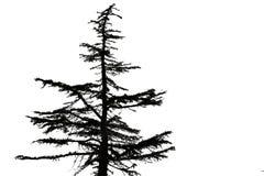 Siluetta nera di vecchio albero di abete su bianco Immagini Stock