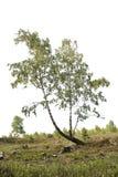 Siluetta realistica degli alberi di betulla dalla natura fotografia stock libera da diritti