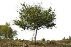 Siluetta realistica dell'albero di betulla fotografia stock libera da diritti