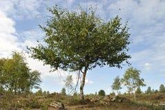 Siluetta realistica dell'albero di betulla immagini stock libere da diritti