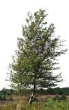 Siluetta realistica dell'albero di betulla immagini stock