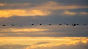 Siluetta retroilluminata delle gru di Sandhill in volo con al crepuscolo giallo ed arancio dorato/tramonto del cielo durante le m immagine stock libera da diritti