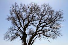 Siluette ветвей огромного дерева с птицами гнездится Стоковое фото RF