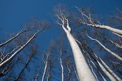 Siluette bianche dell'albero che indicano il cielo blu fotografie stock