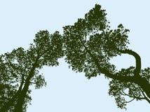 Siluette degli alberi attillati Fotografie Stock Libere da Diritti