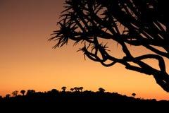 Siluette degli alberi del fremito al tramonto Fotografia Stock Libera da Diritti