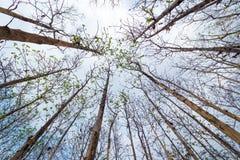 Siluette dei baldacchini di alberi in una foresta asciutta in Tailandia Fotografie Stock Libere da Diritti