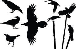 Siluette dei corvi Immagine Stock