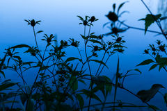 Siluette dei fiori davanti ad acqua blu Fotografie Stock