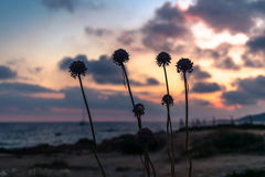 Siluette dei fiori sulla riva in Corsica al tramonto Fotografia Stock Libera da Diritti